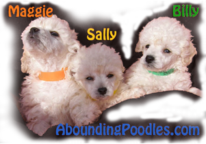White Toy Poodle Litter